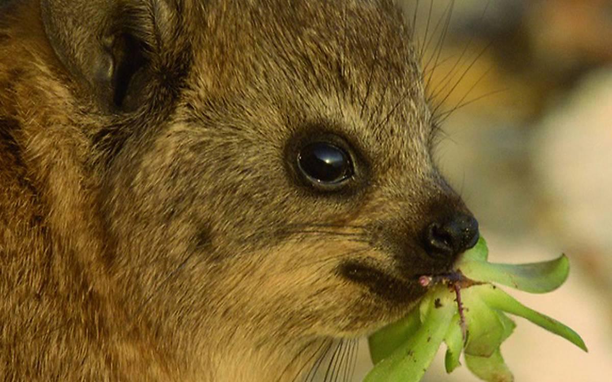 Klippschliefer – Überlebenskünstler in Südafrika (Regie: Marlen Hundertmark)
