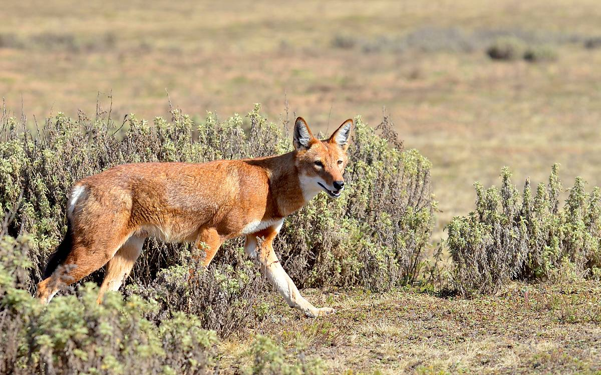 Megeti – Africa's Lost Wolf (Regie: Yann Sochaczewski)