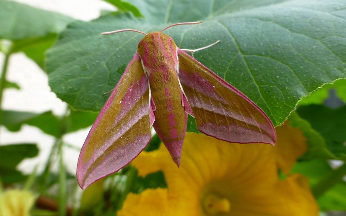 Filigran in rosa: Mittlerer Weinschwärmer