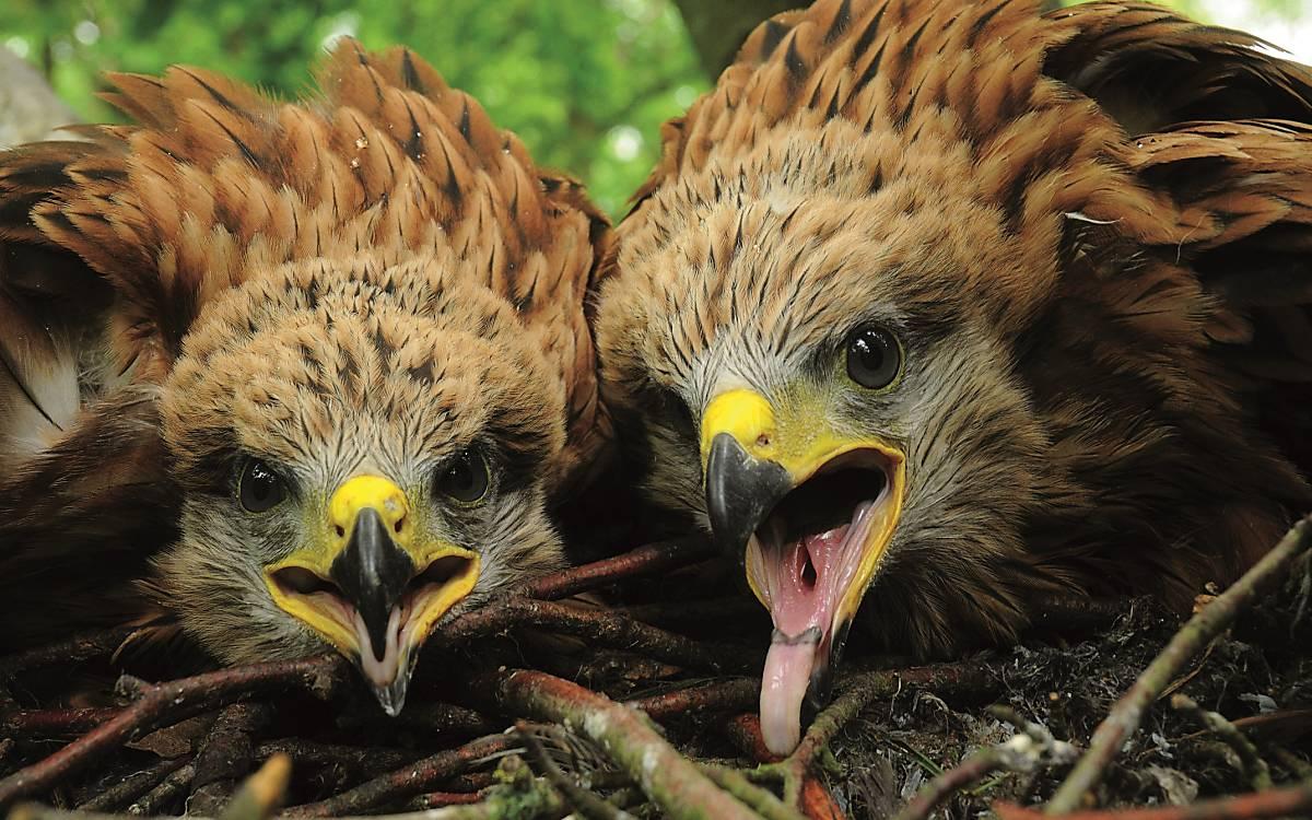 Jungvögel Rotmilan (Foto: G. Gelpke)