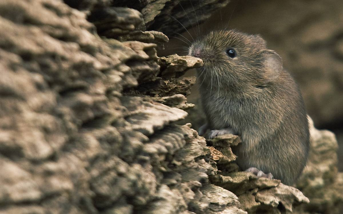Maus im Totholz 2