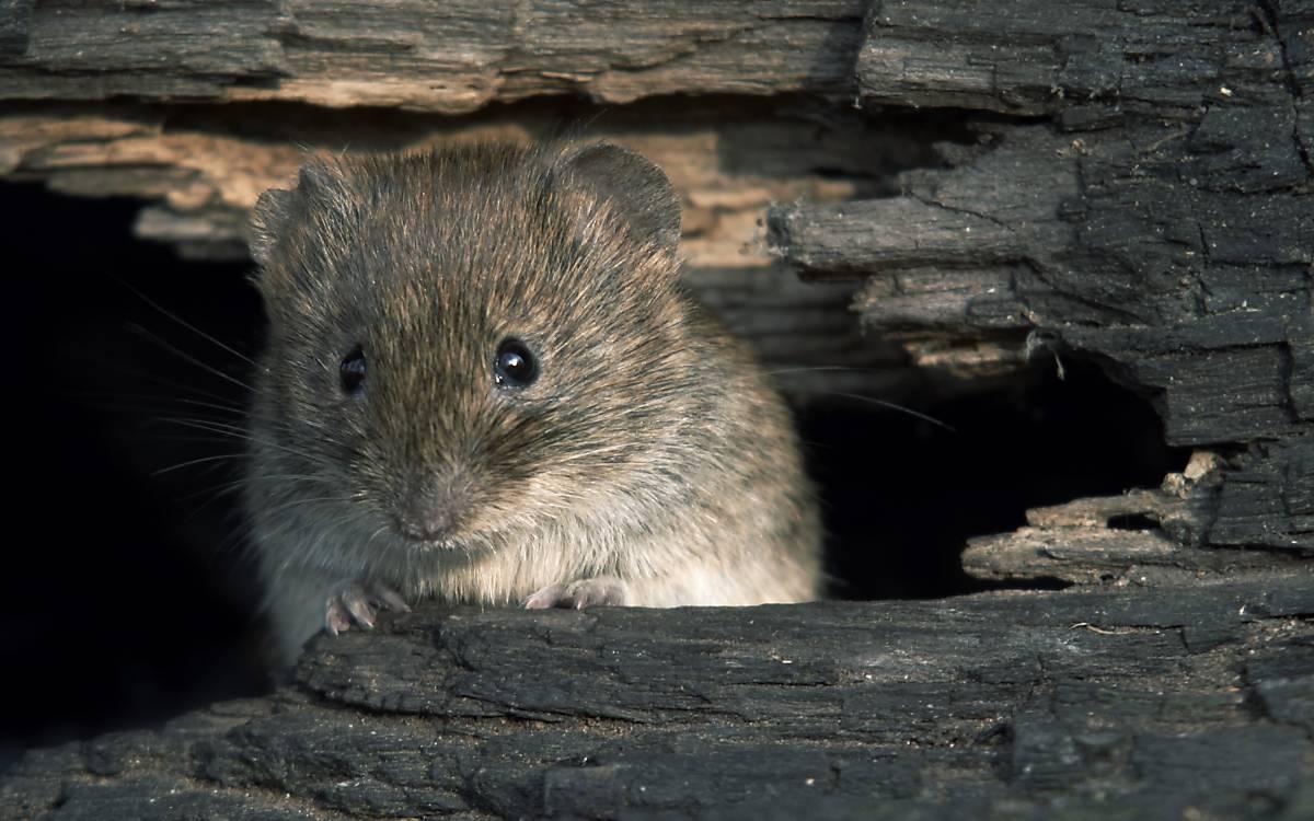 Maus im Totholz