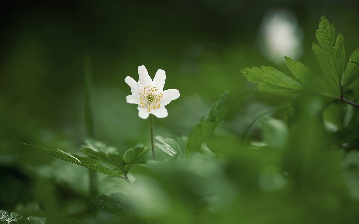 weisse Blume.