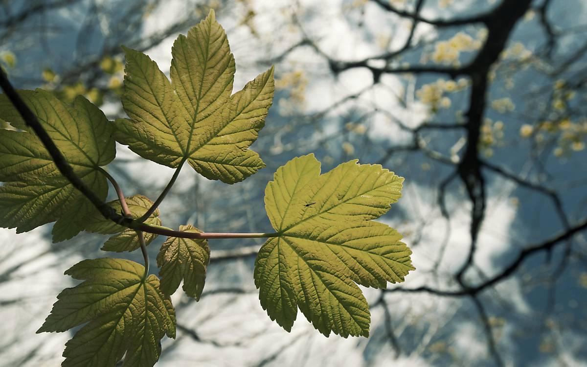 Blätter des Bergahorn (Acer pseudoplatanus)