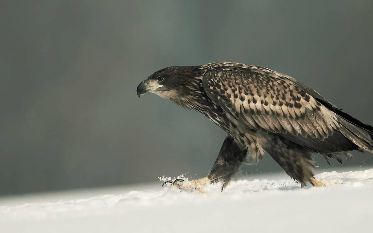 Seeadler im Schnee