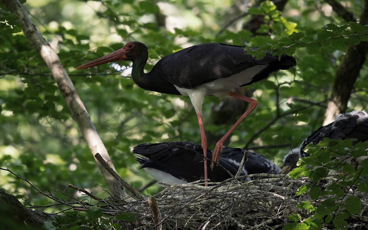 Schwarzstorch im Nest