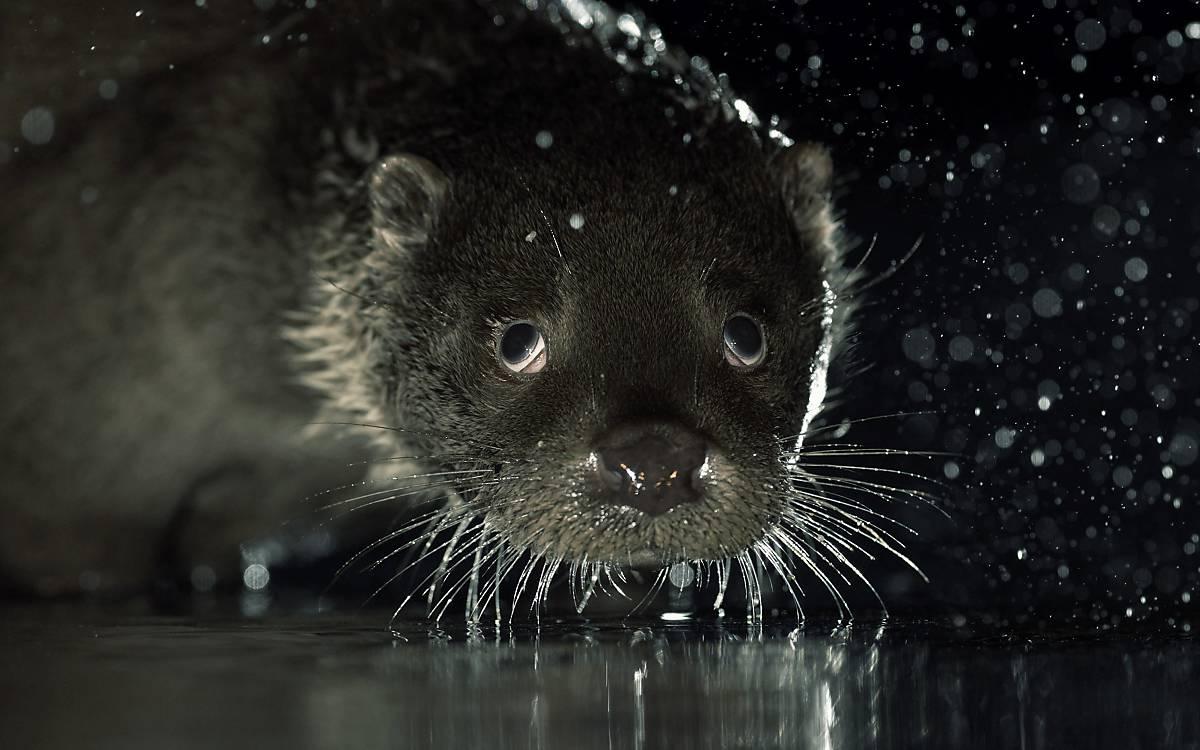 Fischotter (Lutra lutra)