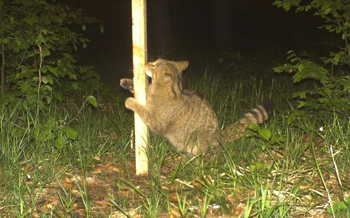 Wildkatze am Lockstock