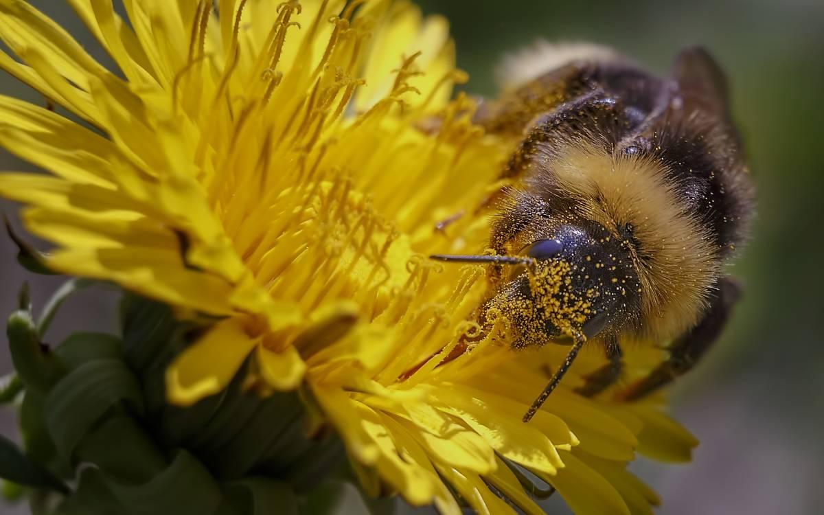 wildbiene-auf-blute-2