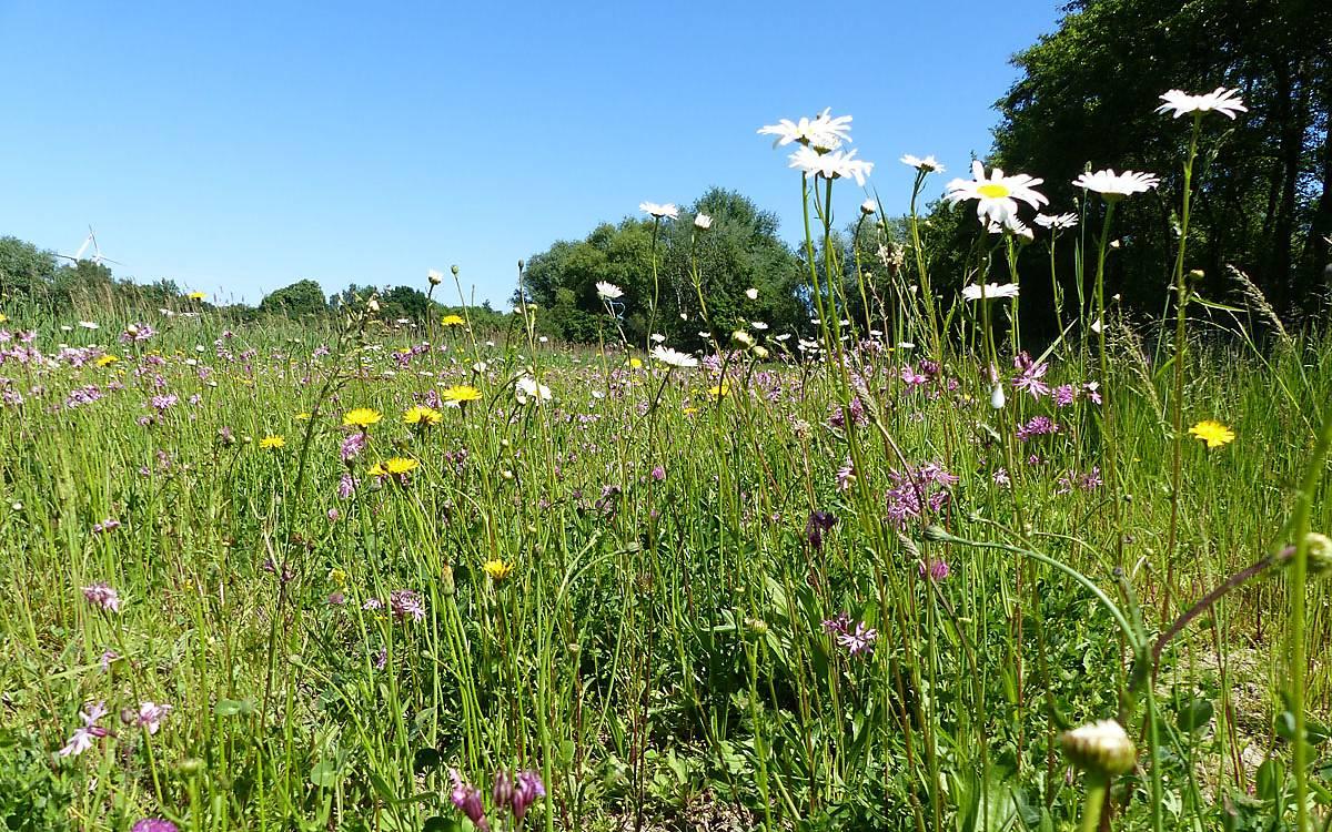 Entwicklung von artenreichem Grünland zusammen mit der Stiftung Ausgleich Altenwerder