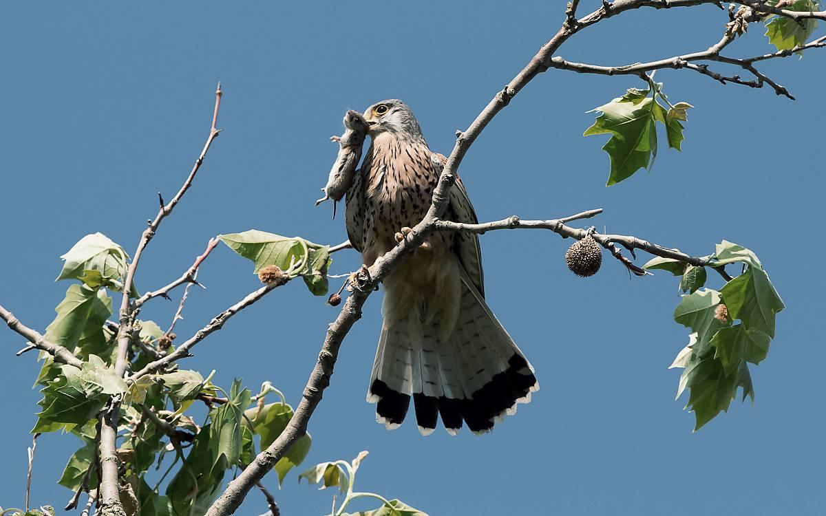 Feldmäuse sind eines der wichtigsten Beutetiere für Greifvögel.