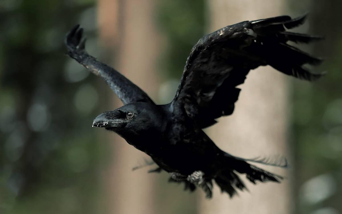 Kolkraben (Corvus corax)
