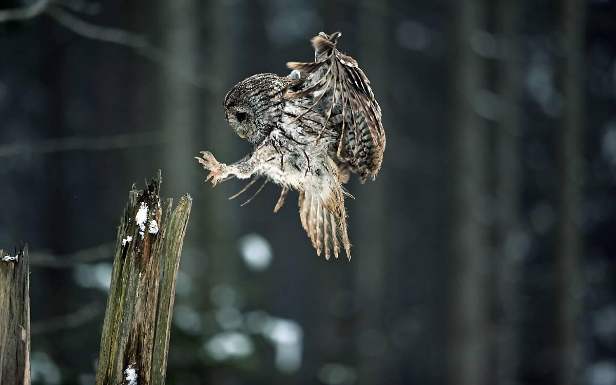 Waldkauze verfügen über sehr scharfe Krallen.