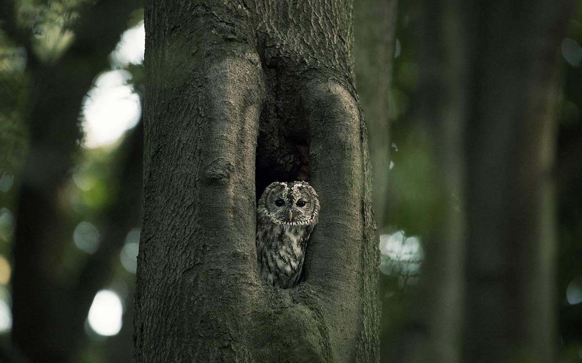 Waldkauze können sehr gut klettern.