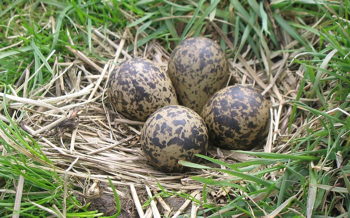 Nest eines Kiebitz am Boden