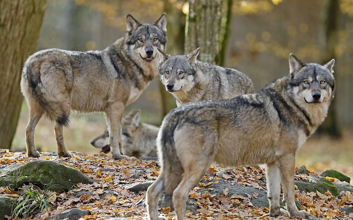 Rudel europäischer Wölfe