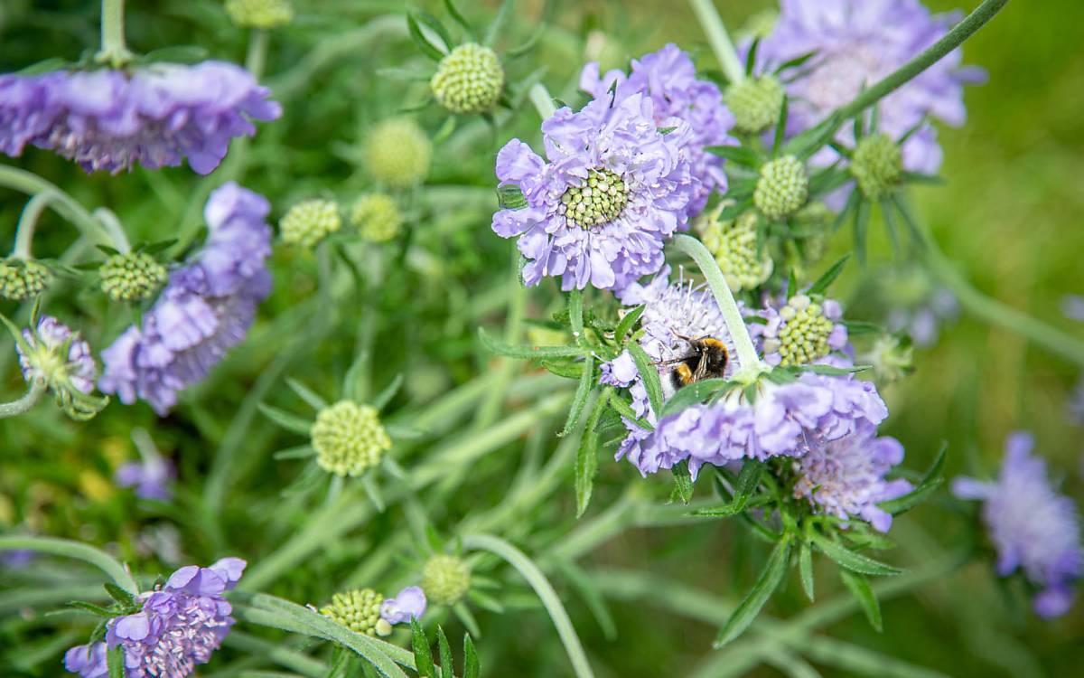 Eine Wildbiene (hier eine Hummel) sammelt süßen Nektar, auch eiweißhaltiger Pollen stellt eine wichtige Nahrungsquelle dar.