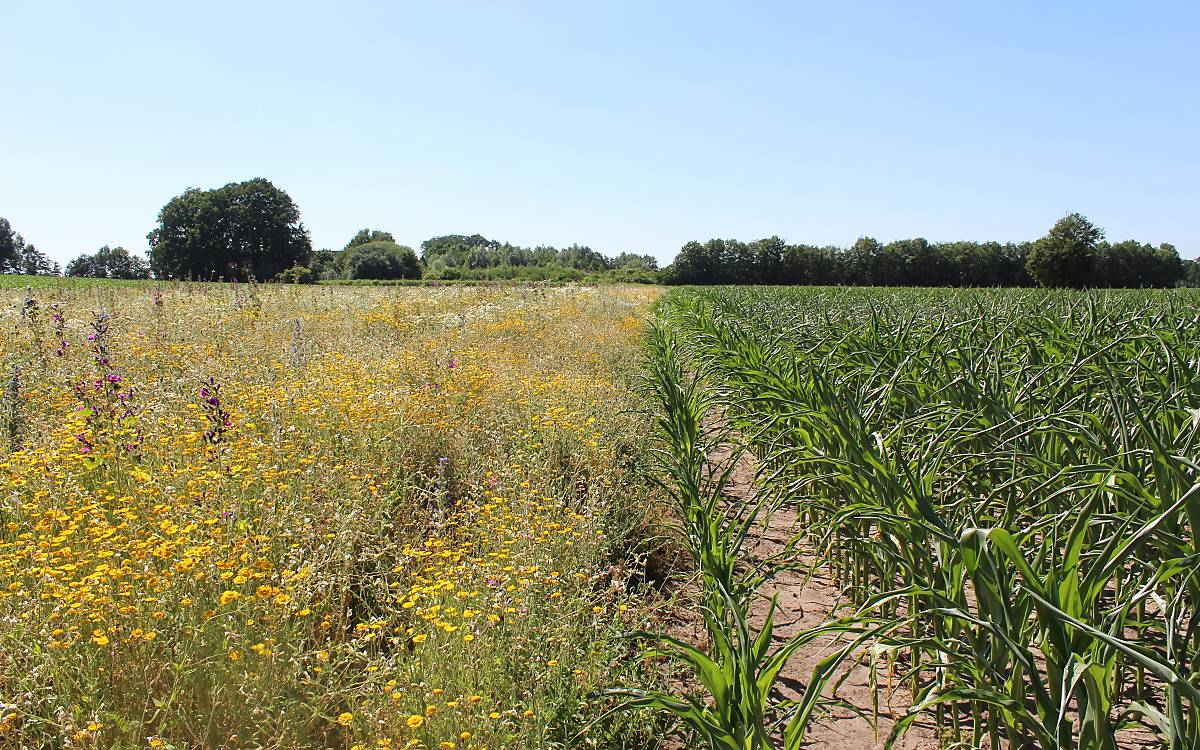 Bunte Biomasse: links Vielfalt auf dem Acker, rechts Mais-Monokultur. Ziel des Projekts Bunte Biomasse ist es, bundesweit auf 500 ha blühende Flächen zu schaffen (Foto: C. Kemnade)