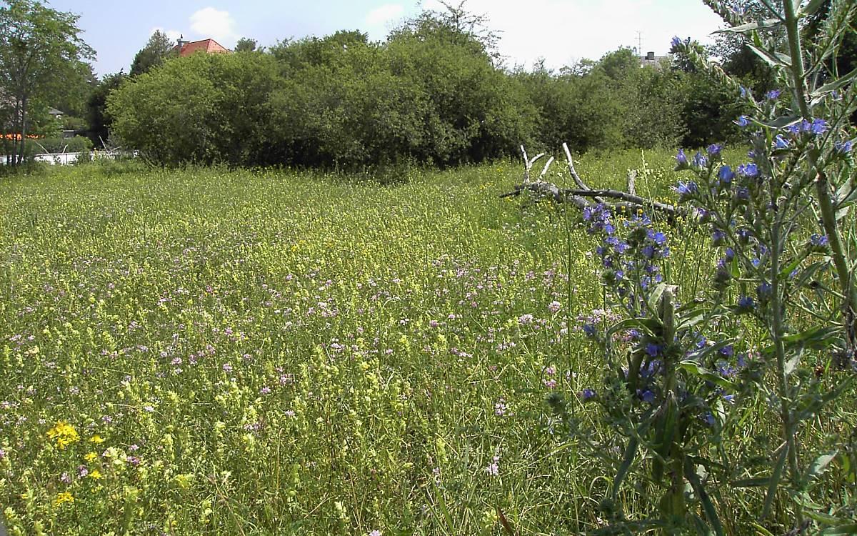 Wiese mit einheimischen Blühpflanzen: Hier fühlen sich Wildbienen wohl!