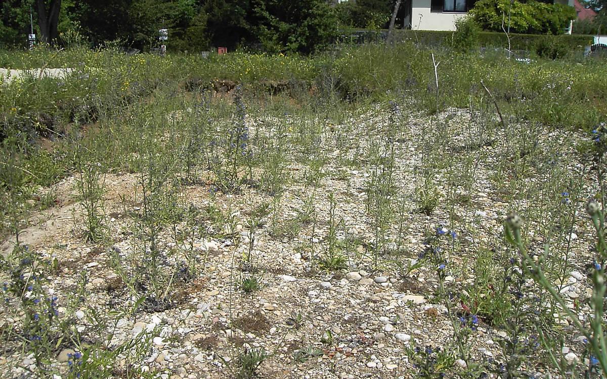 Hier wurde der Oberboden abgeschoben, um Nistraum für im Boden nistende Wildbienen zu schaffen