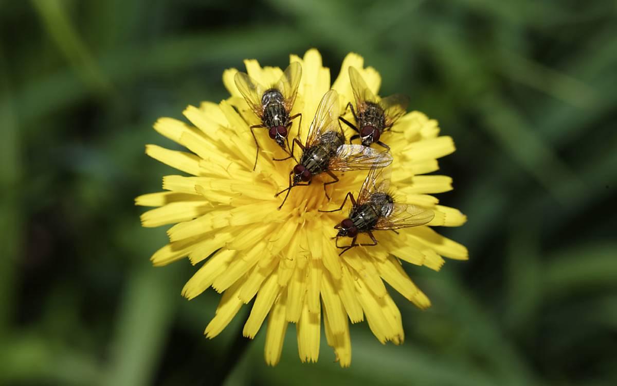 Fliegen auf einer Blüte des Habichtskrauts. Insekten bestäuben eine Vielzahl an Pflanzen.
