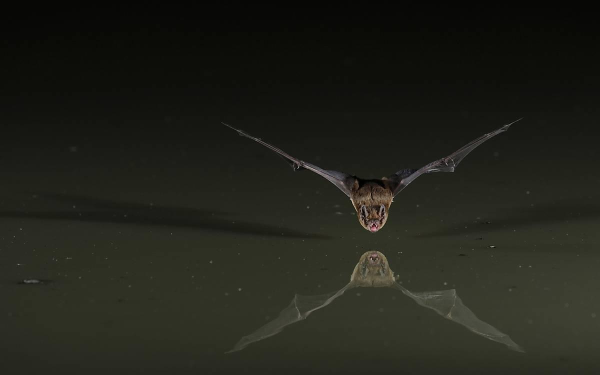Mopsfledermaus im Flug