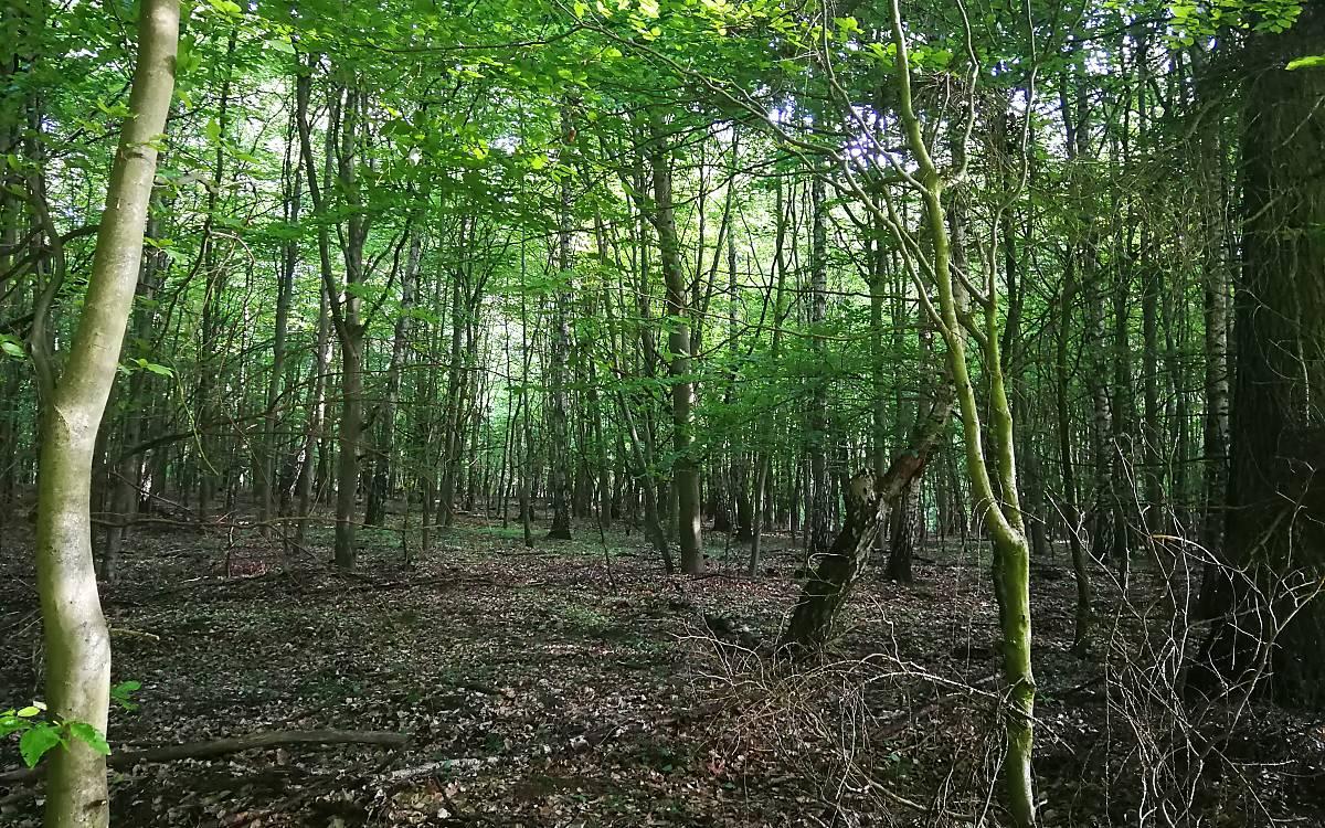 Waldumbau hilft dem Wald und dem Wild (Foto: Calvi)