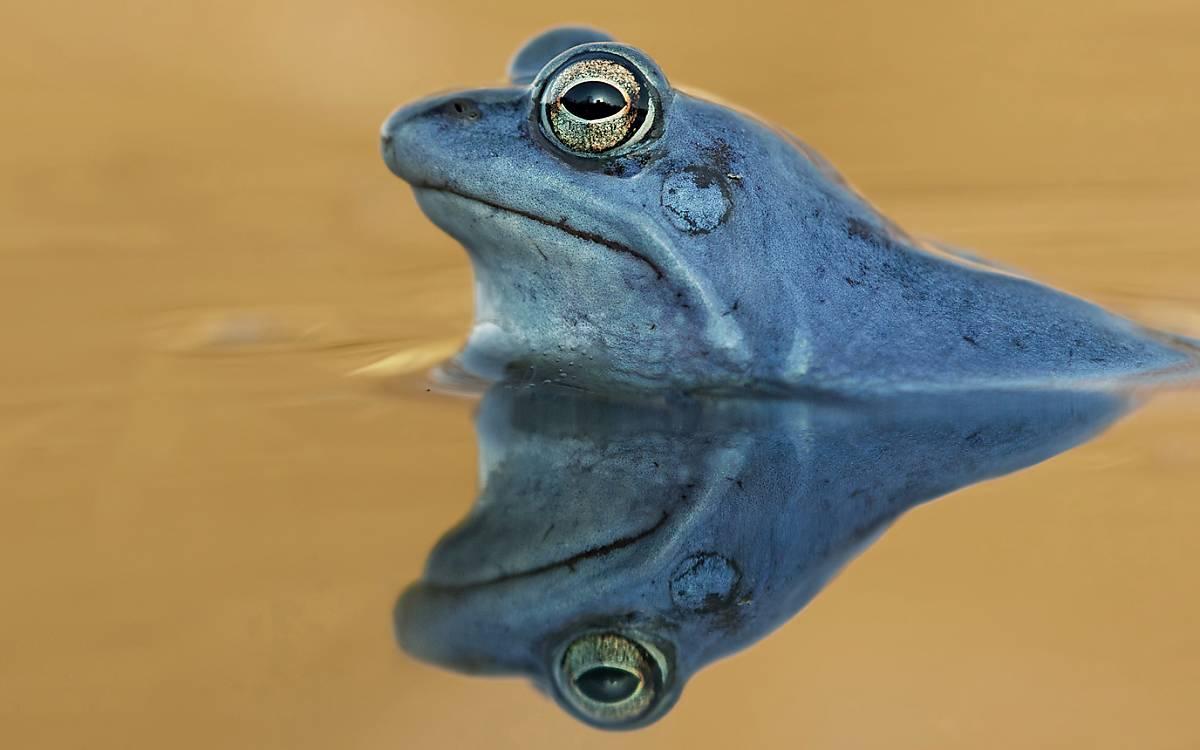Eigentlich unauffällig und getarnt sind die Männchen der Moorfrösche zur Laichzeit leuchtend blau gefärbt. Ende März buhlen sie mit leisen aber anhaltenden Lauten um die Gunst der Weibchen.