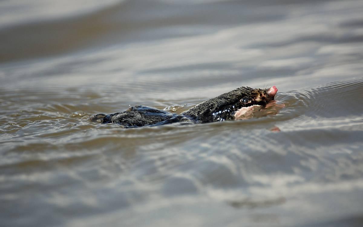 Maulwürfe können gut schwimmen, meiden aber Kontakt zu Wasser.