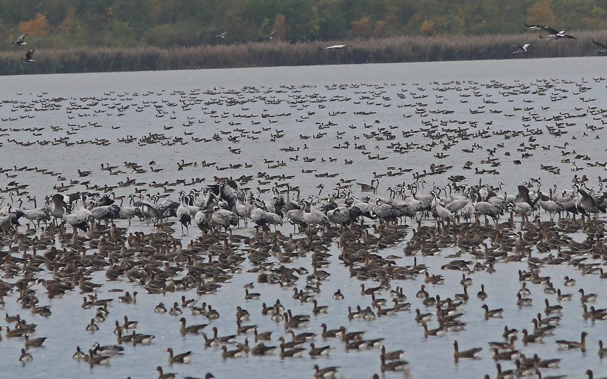 Kraniche im Vogelschutzgebiet Galenbecker See