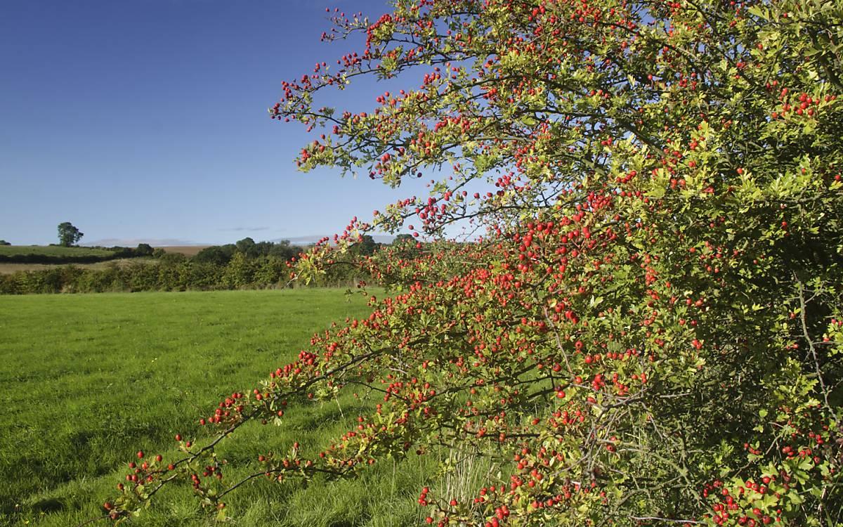Die Frucht der Wildrose, die Hagebutte, wird zur Herstellung von Tee genutzt