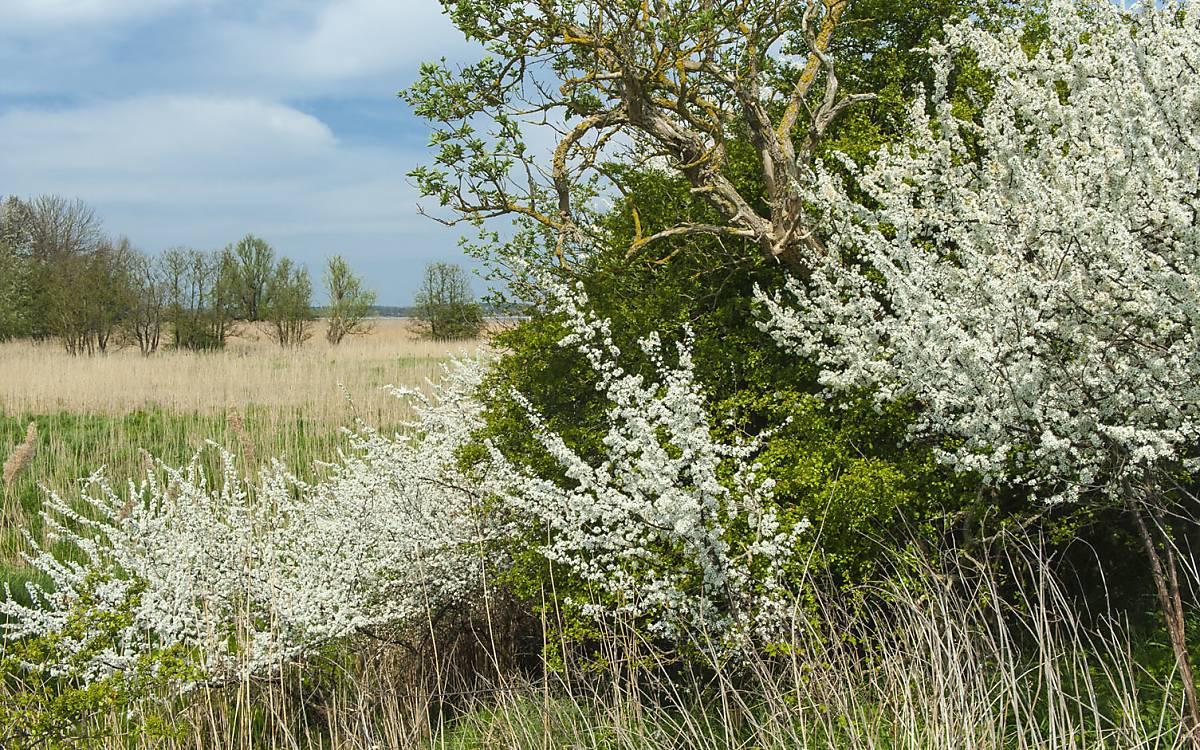 Wildbienen und andere Insekten nutzen Hecken während der Blüte zur Nahrungsaufnahme