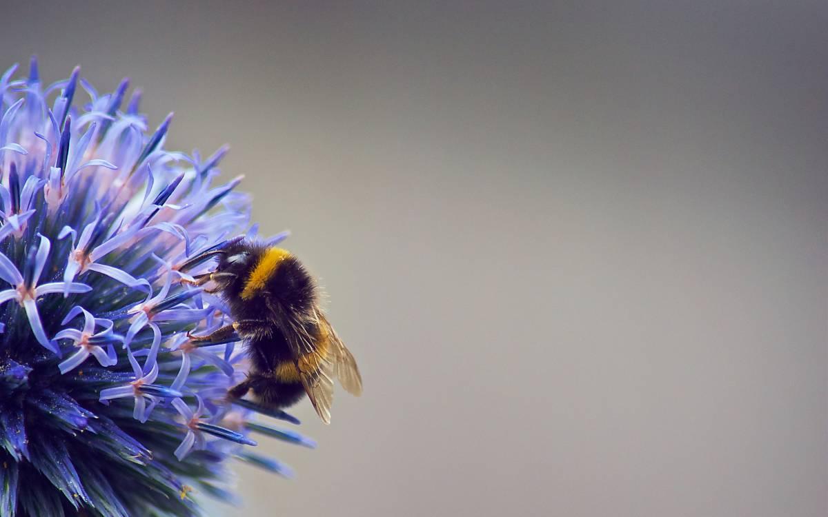 wildbienen-3