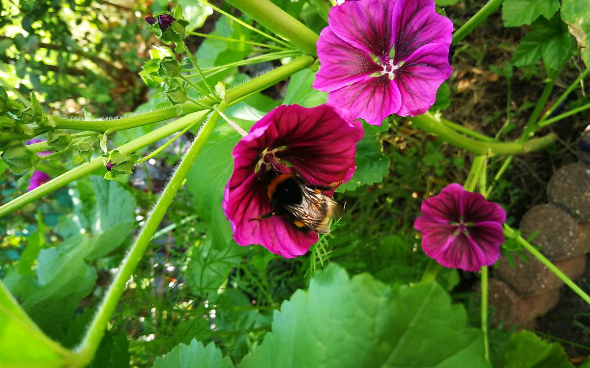 Hummel an Blume (Foto: Calvi)