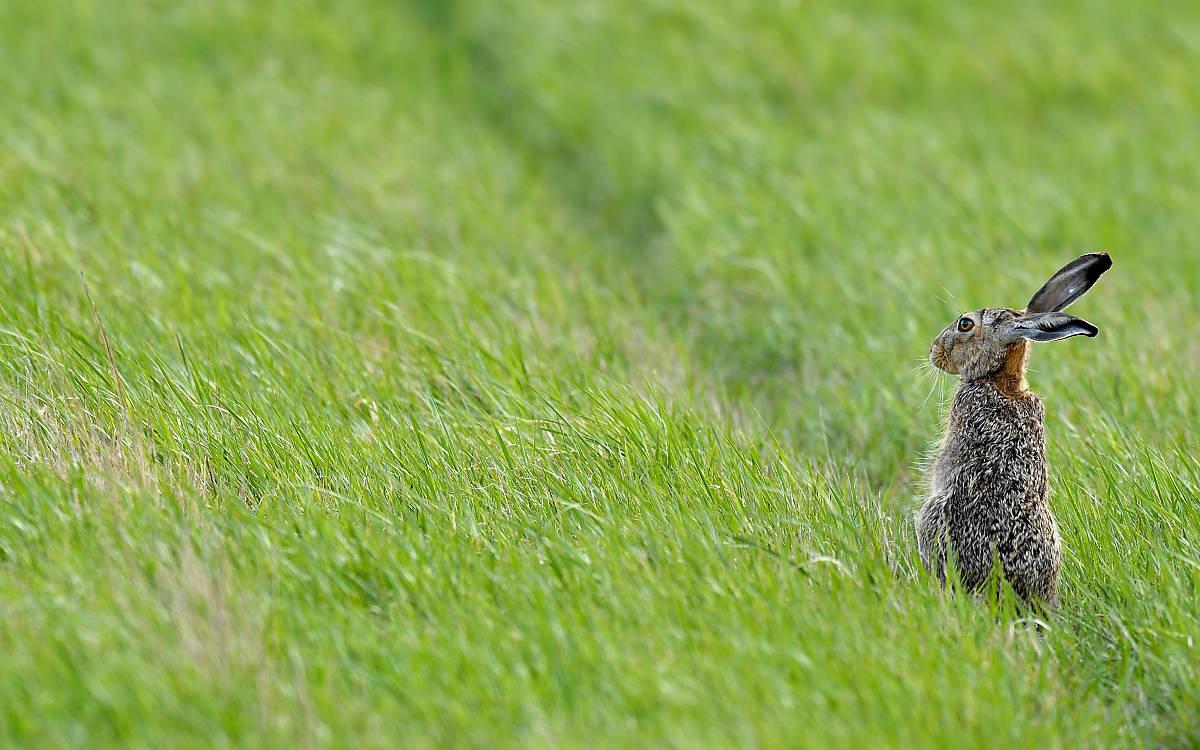 Feldhase auf der Wiese (Foto: © imageBROKER / Stefan Huwiler)