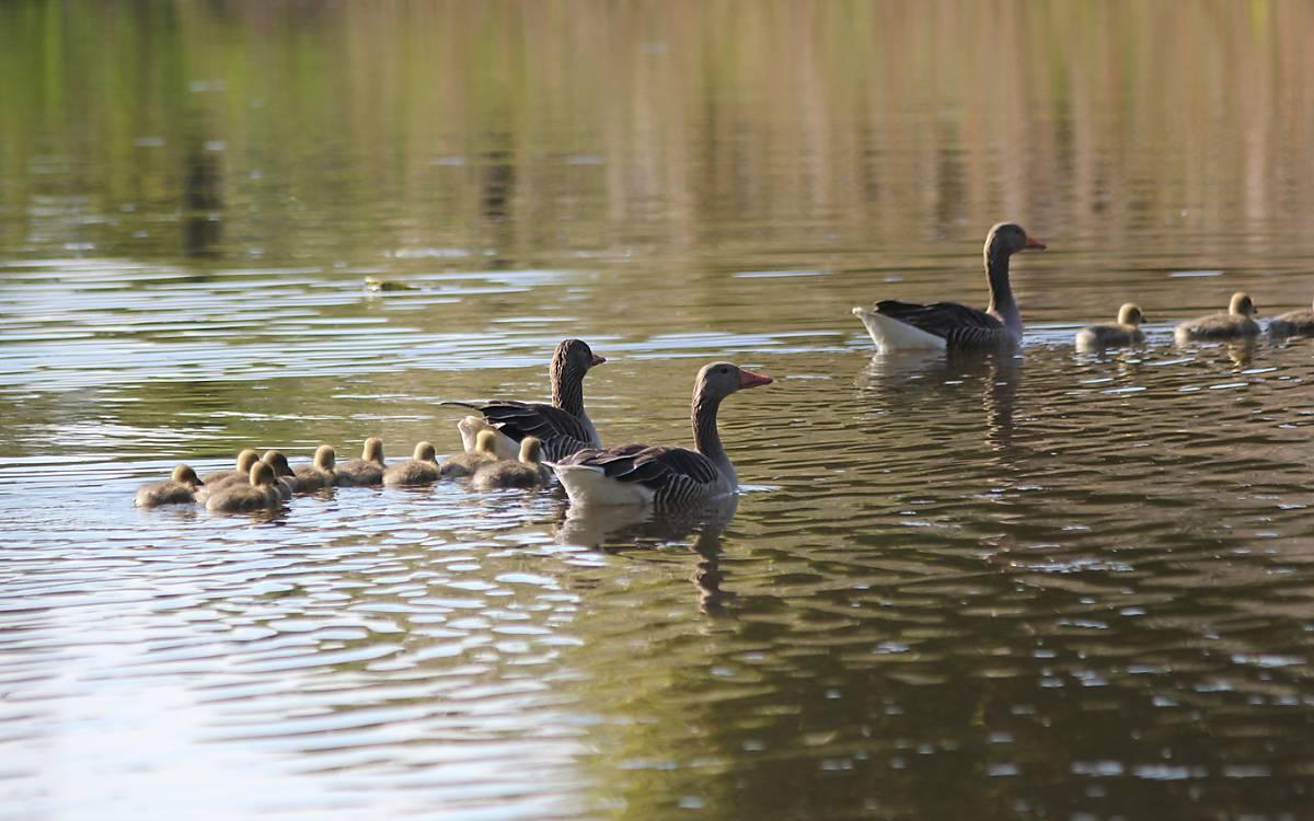 Die Graugänse sind unter den Wasservögeln die ersten mit Brutbeginn im zeitigen März - Foto: Michael Tetzlaff
