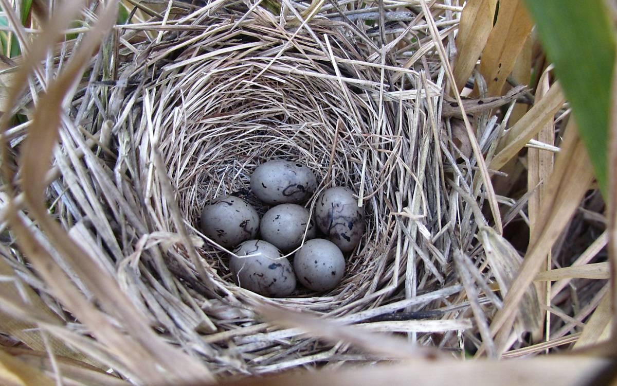 Gut versteckte Nester sichern das Überleben - Foto: Michael Tetzlaff