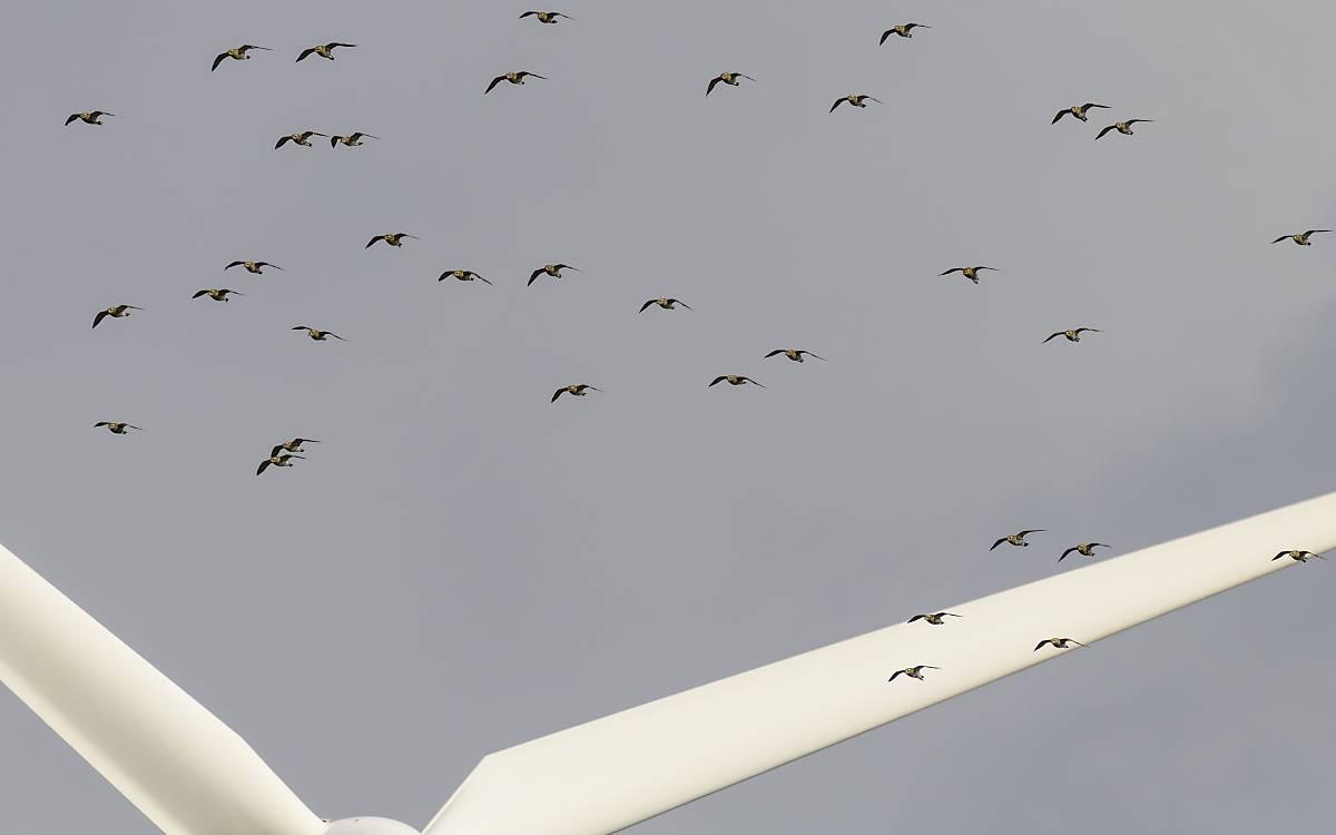 Vogelschar im Flug über den Flügeln einer Windkraftanlage, Bredstedt, Schleswig-Holstein.  Foto: © imageBROKER.com / Michael Fischer