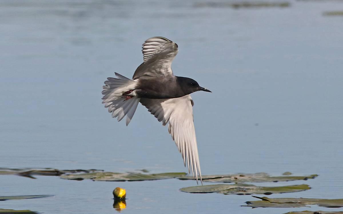 Fliegende Trauerseeschwalbe - Foto: Michael Tetzlaff