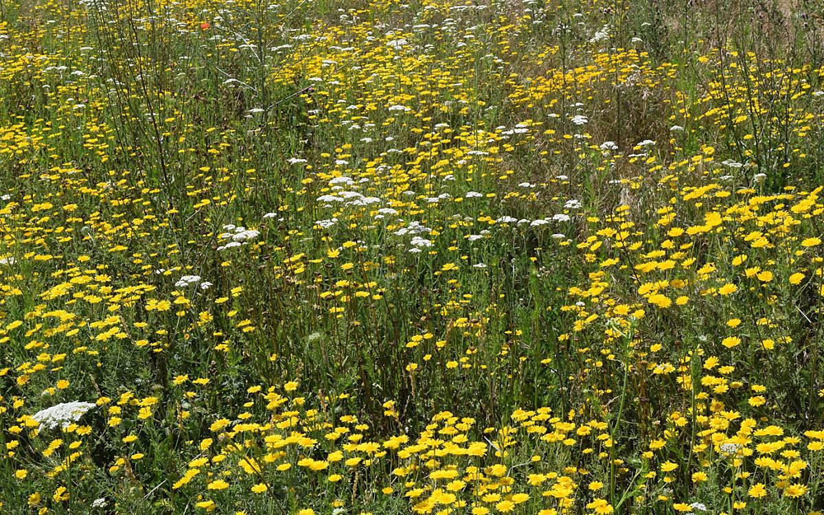 Wildblumenwiese im Hochsommer