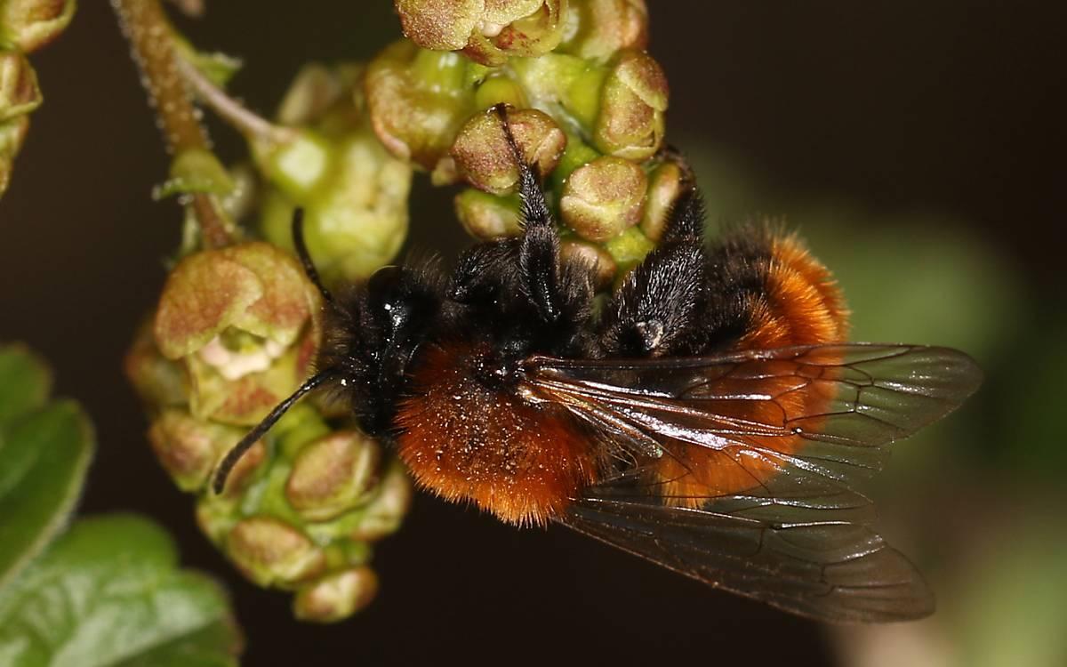 Andrena fulva weiblich