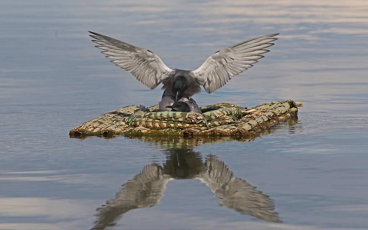 headermotiv_trauerseeschwalben-auf-nisthilfe_michael-tetzlaff