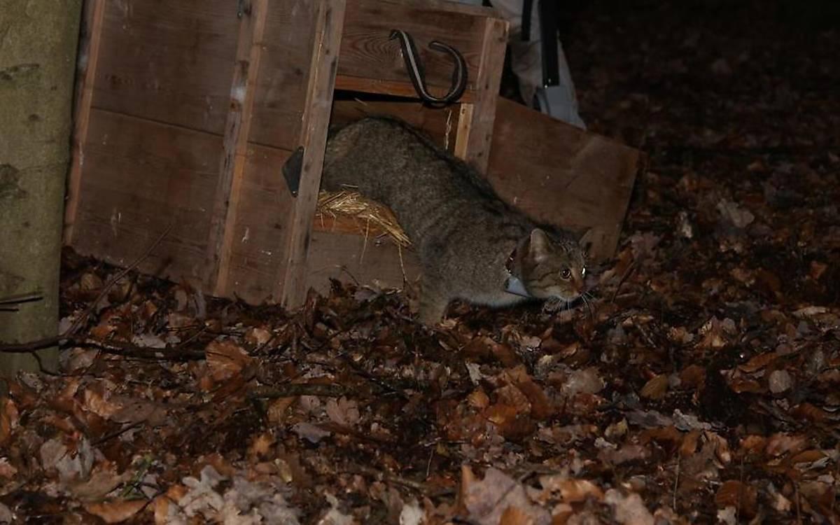 Erst wenn die Narkosemittel ihre Wirkung nach 2-3 Stunden vollständig verloren haben, wird die besenderte Wildkatze direkt am Fangort wieder freigelassen