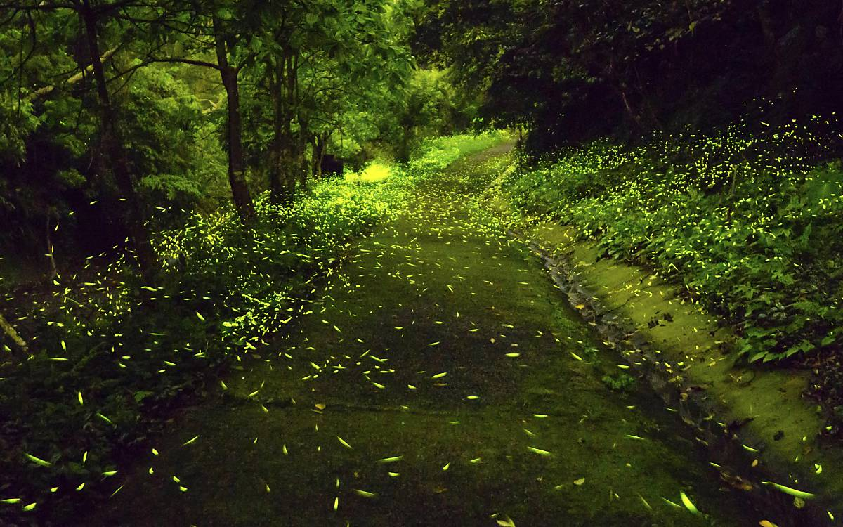 Viele Leuchtkäfer (Lampyridae) bei Nacht - 4804884 © imageBROKER / Jeff Tzu-chao Lin