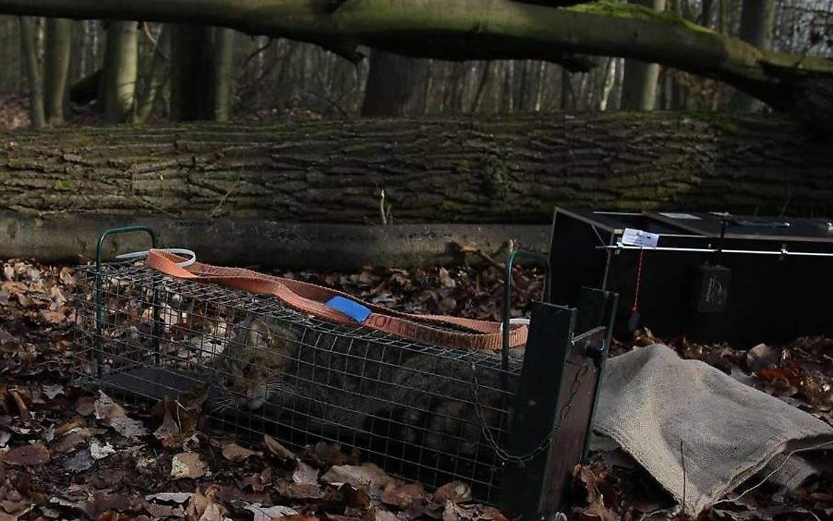 Eine Wildkatze wurde gefangen und von der Falle in einen speziellen Behandlungskäfig überführt, in dem ein Narkosemittel verabreicht wird.