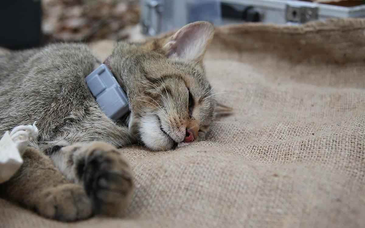 Nach einer Bearbeitungszeit von ca. 20 Minuten wird die Narkose aufgehoben und die Wildkatze in eine Aufwachbox gelegt