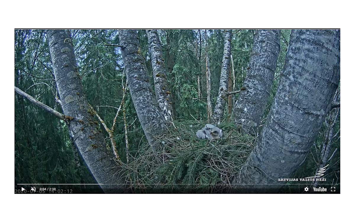 Schreiadlerküken im Nest kurz vor der Habichtattacke