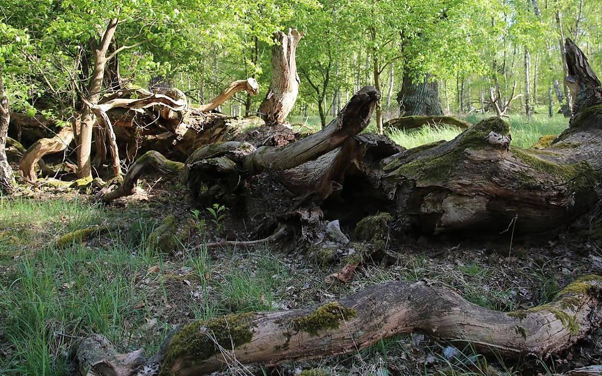 Totholzstrukturen am Boden bieten Versteckmöglichkeiten. (Foto: Malte Götz)