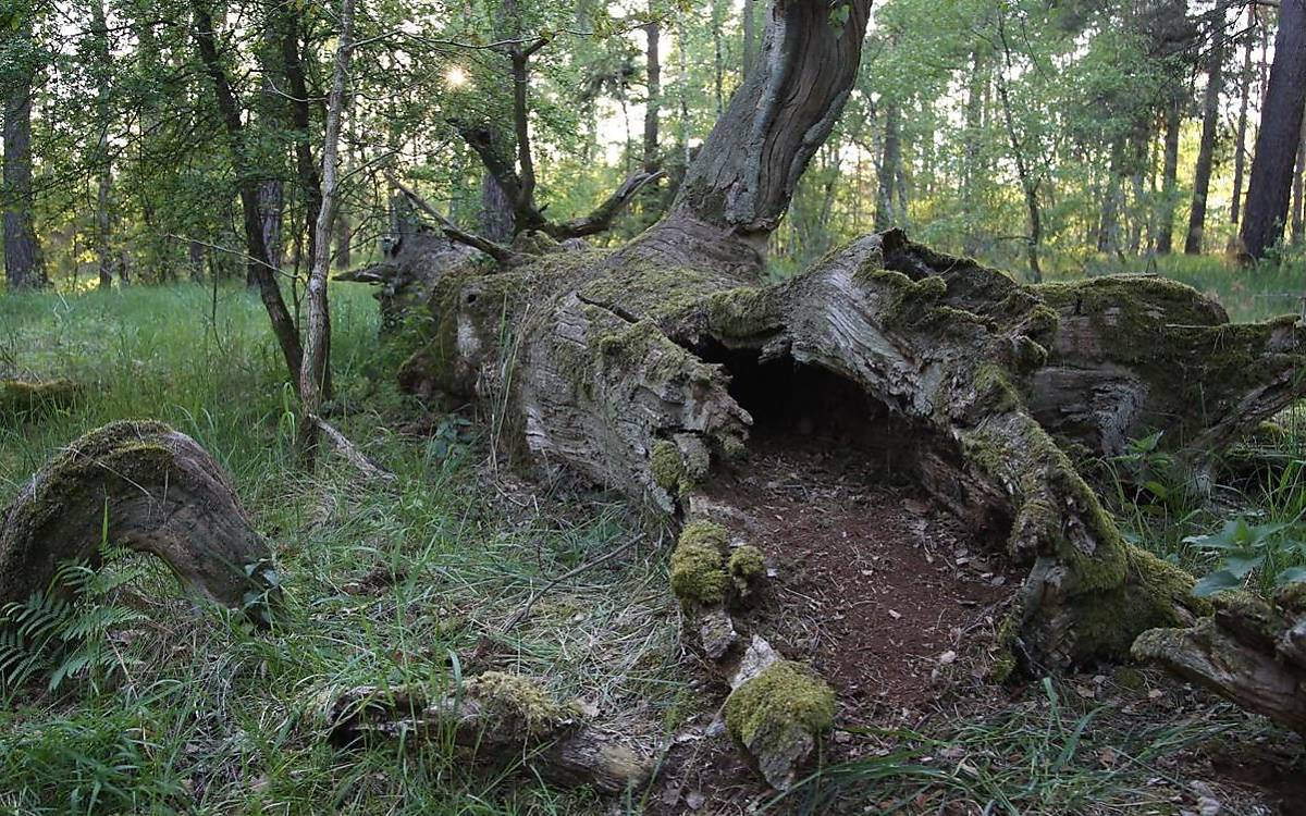 Ein hohler Baumstamm wurde über 2 Wochen lang als Jungenversteck genutzt. (Foto: Malte Götz)