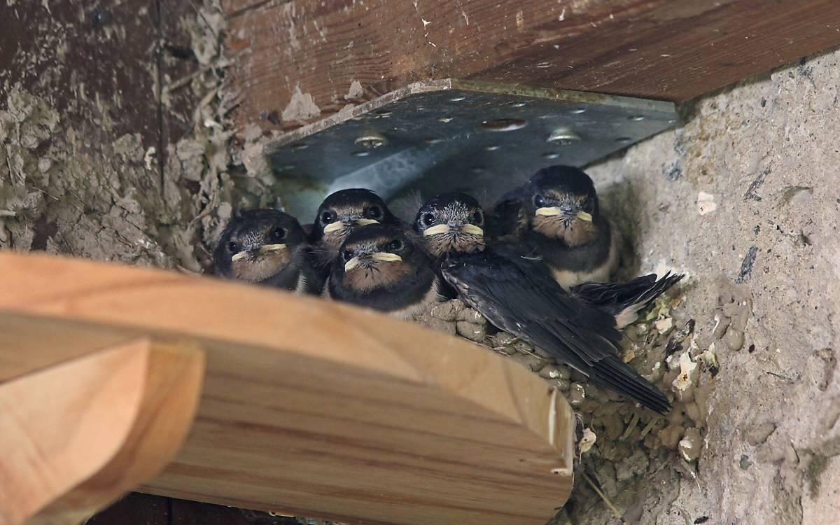 Fünf junge Rauchschwalben im Nest - Foto: M. Tetzlaff